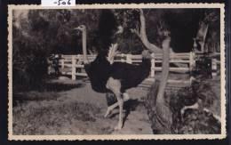 Madagascar - Tuléar - Toliara : Befanamy - Les Autruches Du Jardin Zoologique- Vers 1958 ;(-506) - Madagascar