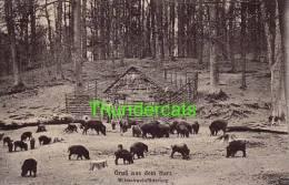 CPA COCHON SANGLIER  BRUSS AUS DEM HARZ WILDSCHWEINFUTTERUNG PIG - Cochons