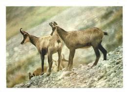 Cp, Animaux, Les Chamois - Tierwelt & Fauna