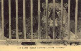 PARIS Museum D'Histoire Naturelle LION D'AFRIQUE - Museums