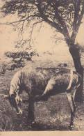 Belgian Congo Une antilope chaval