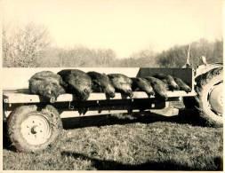 TRES BELLE PHOTO DE CHASSE AU SANGLIER   REAL PHOTO  25,5 Cm / 18cm - Chasse