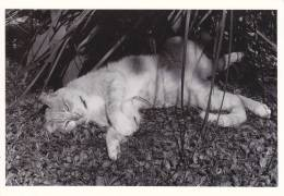 CPSM CHAT PHOTO RENAUD KERVINIO LE BAIN DE SOLEIL DE POUPONNE 1988 150 EX CORRESPONDANCE J BOURDILLON - Gatti