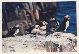Animals - Puffins - Birds