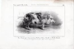 Concours Agricole De Bar Le Duc . Cochon . Verras Race Craonnaise . Neuviller Sur Moselle . - Vieux Papiers
