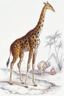 [NZ04-047   ]  Camelopardalis Giraffe  Girafe , Postal Stationery -Articles Postaux -- Postsache F - Giraffes