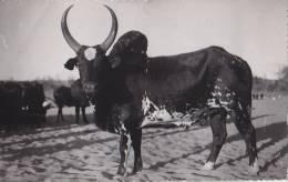 Madagascar - Agriculture élevage Zébu - Madagascar