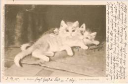 Ackermanns Künstlerkarte Nr 649 Sign A Dreher 2 Kätzchen Kameradschaft Cats Chat Katzen 18.2.1900 Gelaufen - Illustrateurs & Photographes