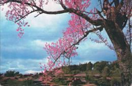 Where Cherry Blossom - Pan Waing Village (Loimwe - Shan State) - MYANMAR - 2 Scans - Myanmar (Burma)