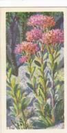 Brooke Bond Tea Trade Card Wild Flowers No 50 Orpine - Tea & Coffee Manufacturers