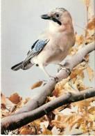 Oiseau-Oiseaux- Geai-Meerkol- Eichelhäher- Jay. - Vögel