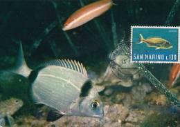 D09904 CARTE MAXIMUM CARD 1968 SAN MARINO - FISH DENTICE CP ORIGINAL - Vissen