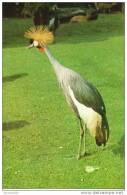 Zoo D´Anvers : Grue Couronnée - Crowned Crane - Vögel