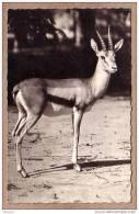 AFRIQUE - FAUNE AFRICAINE - CPSM - 3094 - Gazelle - éditeur HOA-QUI - Postcards