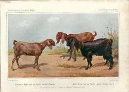 Lithographie L. BARILLOT (25 X 18) - Chèvre Et Bouc Race De Nubie (de M. J. Crépin à BRUNOY - Seine-et-Oise) - Lithographies