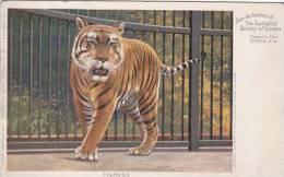 ANIMAL POSTCARD - TIGRESS - Tigres