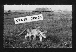 Afrique Noire - Faune Africaine -AEF - Lionne Chassant Près D'un Village - Non Classés