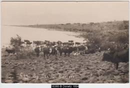 16368g TIBERIADE - Lac - Cows By Sea Of Galilee - 1925 - Carte Photo - Israel