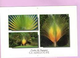 CPM 10*15/M575/GUADELOUPE ARBRE DU VOYAGEUR VOIR SCAN TROU DE PUNAISE HAUT ET BAS MILIEU - Guadeloupe