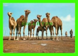 CHAMEAUX, CAMELS, DROMADAIRES -  CHAMEAUX POSANT POUR LE PHOTOGRAPHE  EN TUNISIE - - Autres