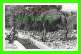CHAMEAUX, CAMELS, DROMADAIRES -  JERICHO, AIN EL SULTAN - - Cartes Postales