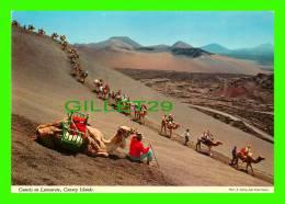 CHAMEAUX, CAMELS, DROMADAIRES -  CAMELS ON LANZAROTE, CANARY ISLANDS - - Autres