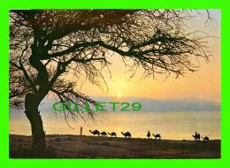 ISRAEL - CHAMEAUX, CAMELS, DROMADAIRES -  ISRAEL, SUNRISE ON THE DEAD SEA - - Cartes Postales