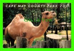 CHAMEAUX, CAMELS, DROMADAIRES - CAPE MAY COUNTY PARK ZOO - - Cartes Postales