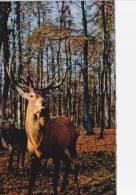 CPA - Un Cerf  En Sologne - Jagd