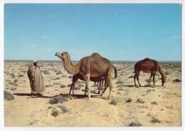 AFRICA LIBYA CAMELS IN THE DESERT BIG POSTCARD 1977. - Libya