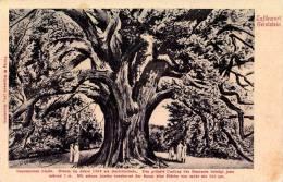 GEROLSTEIN : GEROLSTEINER LINDE / ARBRE SÉCULAIRE [ TILLEUL ] AYANT SERVI DE TRIBUNAL En 1366 - ANNÉE ~ 1910 (n-078) - Gerolstein