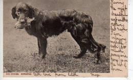 DOG Studies RETRIEVER Avec Un Oiseau Dans La Gueule  (scans Recto Et Verso) - Chiens