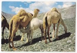 AFRICA LIBYA THE CAMELS Nr. 69 BIG POSTCARD 1976. - Libyen