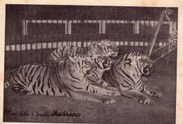 Circo Delle Quattro Sorelle Medrano , Tigri  * - Circus