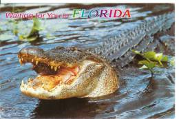 FLORIDA - Alligator - Etats-Unis