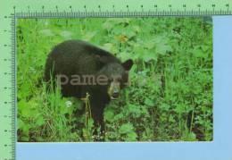 Sundridge Ontario Canada ( Canadian Black Bear ) Post Card Carte Postale - Ours