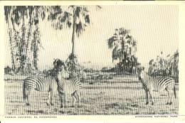 AF037 - Parque Nacional Da Gorongosa - National Park - Zebra Zebras - Mozambico