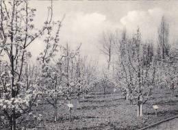 Gembloux - Grand-Manil Ecole Prov. Horticulture, Culture De Poiriers (peu Vue, Grand Format)1 - Gembloux