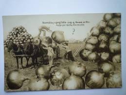 Harvesting A Profitable Crop Of  ONIONS In  MO. - Etats-Unis