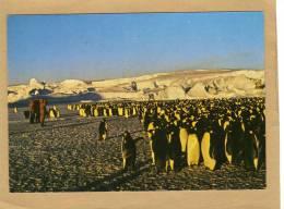 Terre Adelie Pôle Sud  Polaires Dans La Rockery Pingouins - Tirage Limité - Cartes Postales