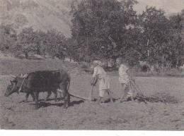 03258 Pamir Cultivation Bovis Cow Plow - Tajikistan