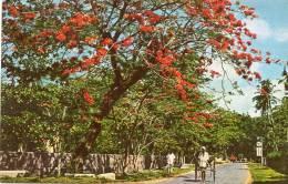 Asie-(Sri Lanka) Flowering Flambouyant On A Colombo Road CEYLON (A)(flamboyant  (arbre Arbres Tree )(Ceylon Pictorials ) - Sri Lanka (Ceylon)