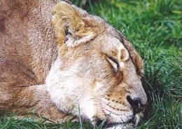 LIONS,LYON,LION KING OF BEASTS, POSTCARD UNUSED. - Lions