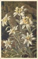 THEMES - FLEURS - Edelweiss - Flores, Plantas & Arboles