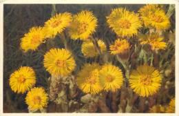 THEMES - FLEURS - Taconnet Tussilage - Flores, Plantas & Arboles