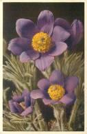 THEMES - FLEURS - Anémone Pulsatilla - Flores, Plantas & Arboles