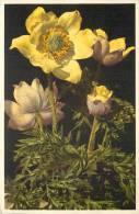 THEMES - FLEURS - Anémone Alpina Sulphuréa - Anémone Soufrée - Flores, Plantas & Arboles