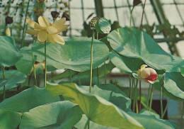 Nelumbo Nucifera  Botanical Garden Copenhagen    B-753 - Flowers, Plants & Trees