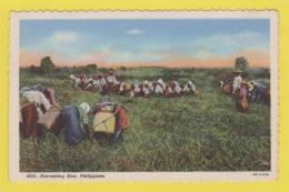 PHILIPPINES ( HARVESTING RICE  RECOLTE DU RIZ ) AGRICULTURE - Philippines