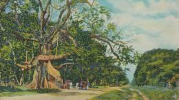 KKS 245 A / C P A   -  ASIE- JAMAICA -  TOM CRINGLE'S COTTON TREE - Postcards